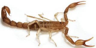 scorpion discovered, scorpion death valley, species discovery, scorpion news, animals, Death Valley species
