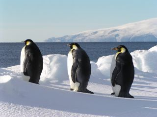 Emperor penguins near the sea in Antarctica.