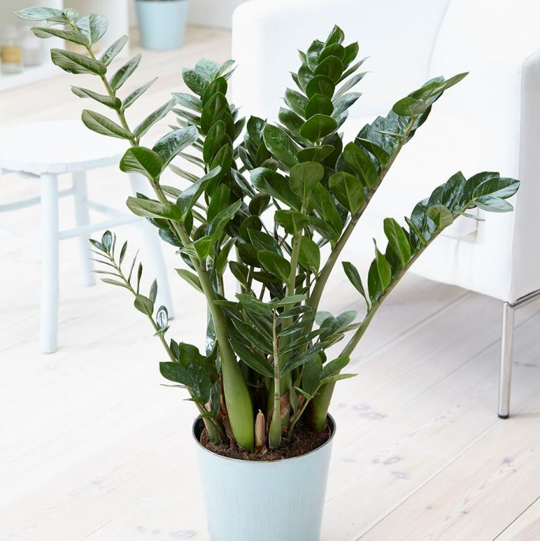 best shade loving plants: Zamioculcas Zamiifolia from Waitrose Garden