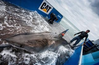 shark tagging, white sharks