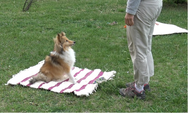 A Sheltie sitting on a mat with a toy attached, waiting for a command.