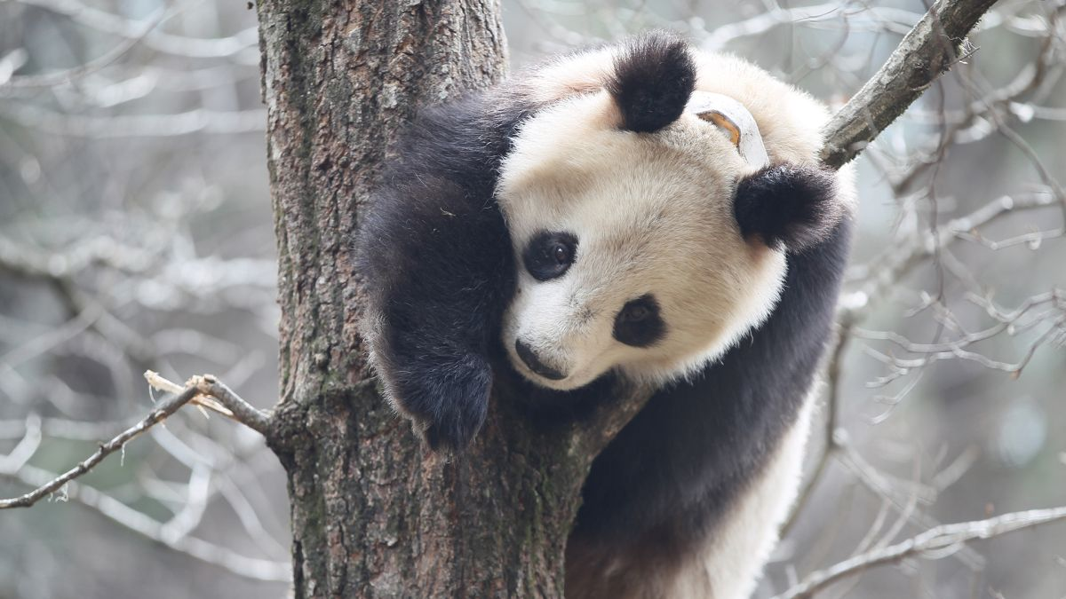 Giant pandas have winter poop parties, rolling around in horse manure