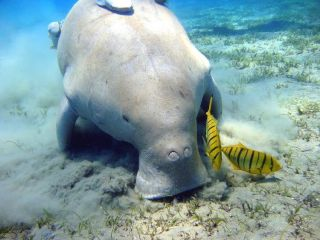 A dugong feeding on seagrass with two bright yellow fish nearby.