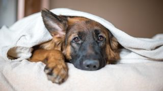 dog with diarrhoea