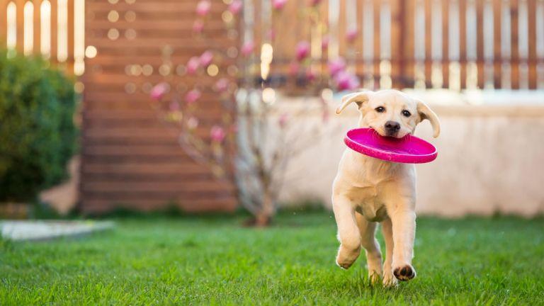 dog running on lawn