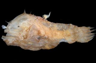 A tiny parasitic male angler fish has attached himself to the back of the much larger female. The tiny males of this species, Photocorynus spiniceps, are the smallest vertebrates known, one scientists contends.
