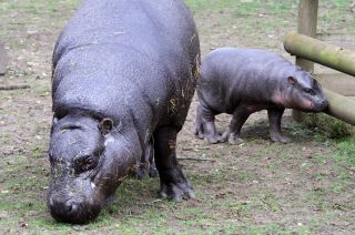 Pygmy hippo mom Ellen with her new calf, Eve