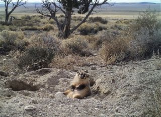 A badger rests on top of the grave of a cow that it buried. The badger was caught on camera interring the cow carcass over the course of five days.