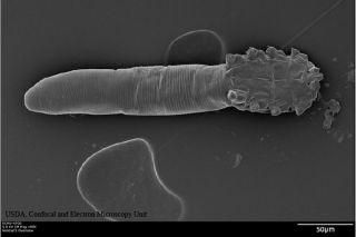 Demodex folliculorum, arachnids, human face