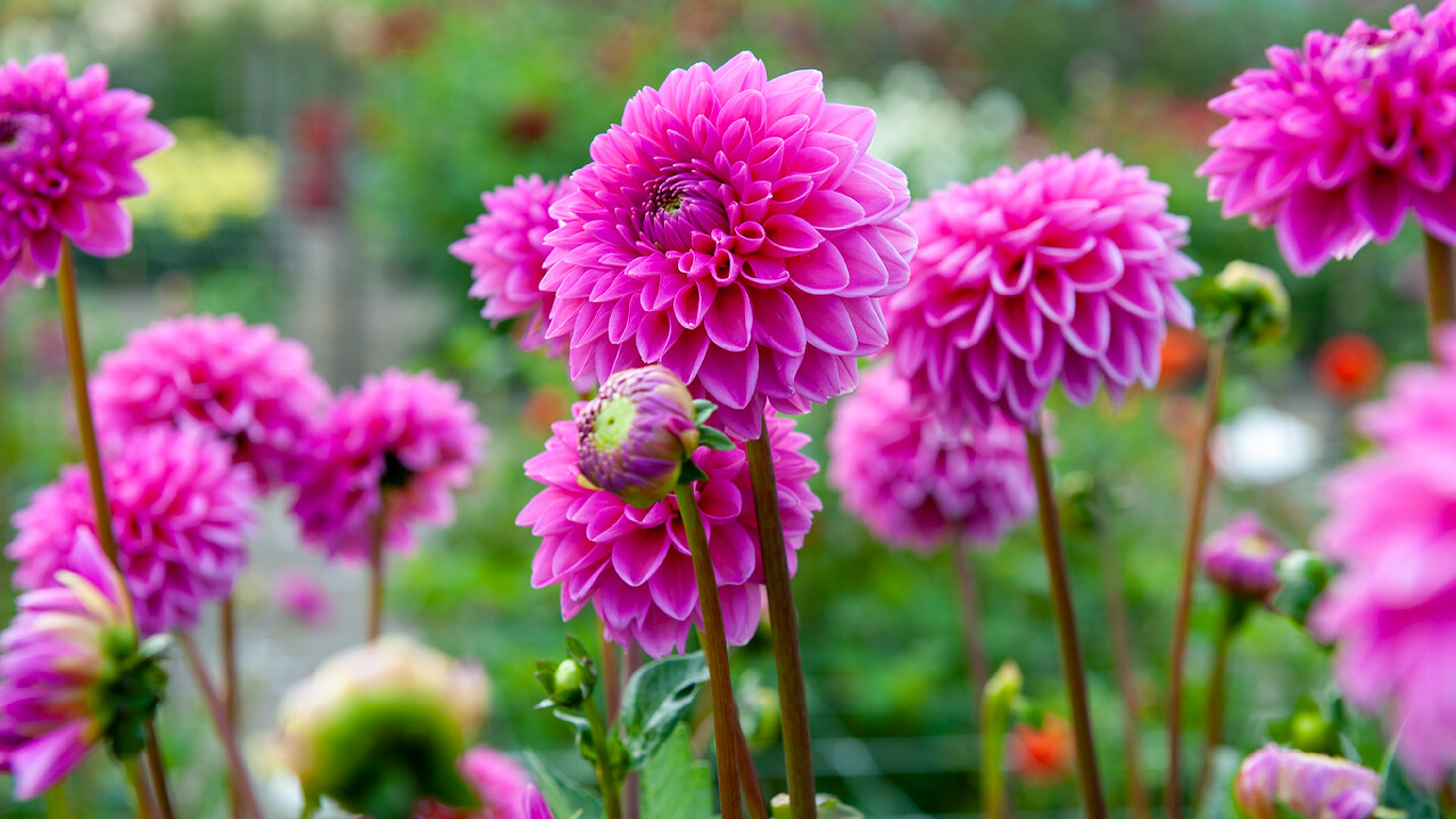 How To Grow Dahlias Follow Our Advice And Create Dazzling Displays In Your Garden Gardeningetc