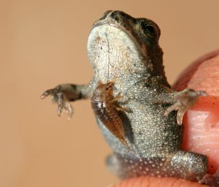 A ground beetle larva attached to a frog or toad.