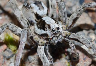 Great fox-spiders immobilize their prey by injecting them with venom that liquifies the internal organs of the insect.