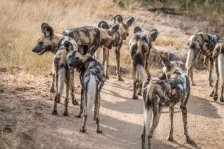 A pack of African wild dogs n the Sabi Sand Game Reserve, South Africa.