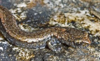 Gabilan Mountains Slender Salamander Batrachoseps gavilanensis. Study found fluctuations in climate could block amphibians' paths as they flee climate change