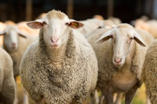 sheep were among the first animals domesticated
