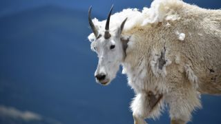 A mountain goat (Oreamnos americanus) with its razor-sharp horns, used for self-defense.