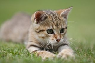 A kitten playing in the grass.