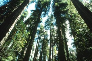 California redwood trees. Credit: National Park Service