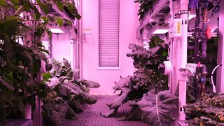 Broccoli and kohlrabi thrive without soil under artificial light in the EDEN ISS Antarctic greenhouse.