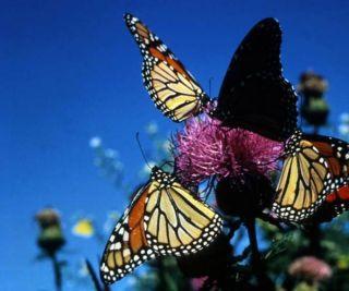 monarchs-thistle-110308-02