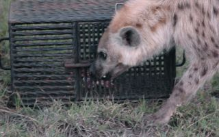 A wild spotted hyena tries to open a steel puzzle box with meat inside.