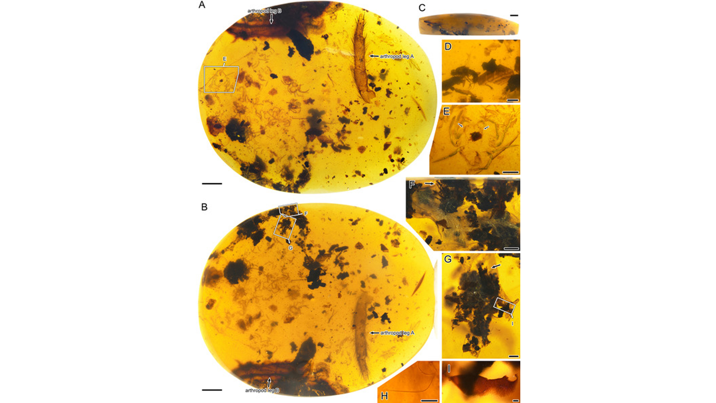 Photos of the arthropod parts, wood fibers and spider silk threads preserved in the amber.
