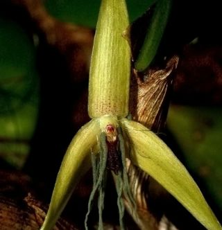 earth, night orchids, night blooming flowers, first night blooming orchid, flowers bloom in the dark, orchids, exotic plants, nocturnal plants, Bulbophyllum nocturnum