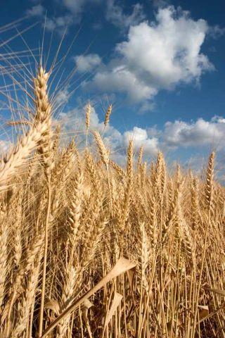 wheat, grains, climate change