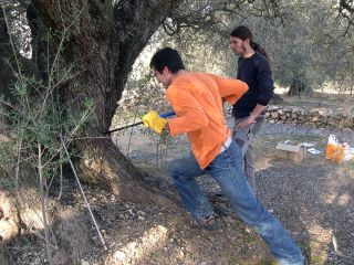 Researchers taking samples of the trunk of an olive tree (<i>Olea europea</i>)