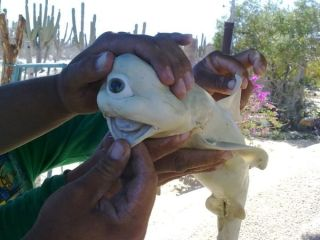 "A one-eyed ""Cyclops"" shark caught off Mexico."