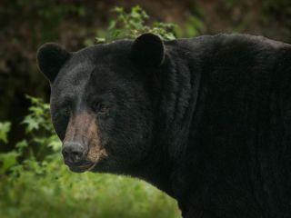 black-bear-11093002