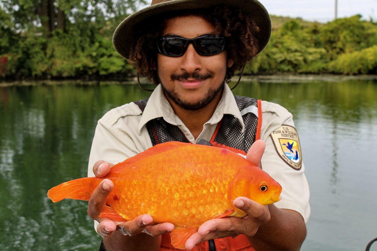 Flushed Goldfish Grew to Be Kitten-Size in Niagara River