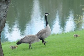 Canadian goose and goslings, conservation