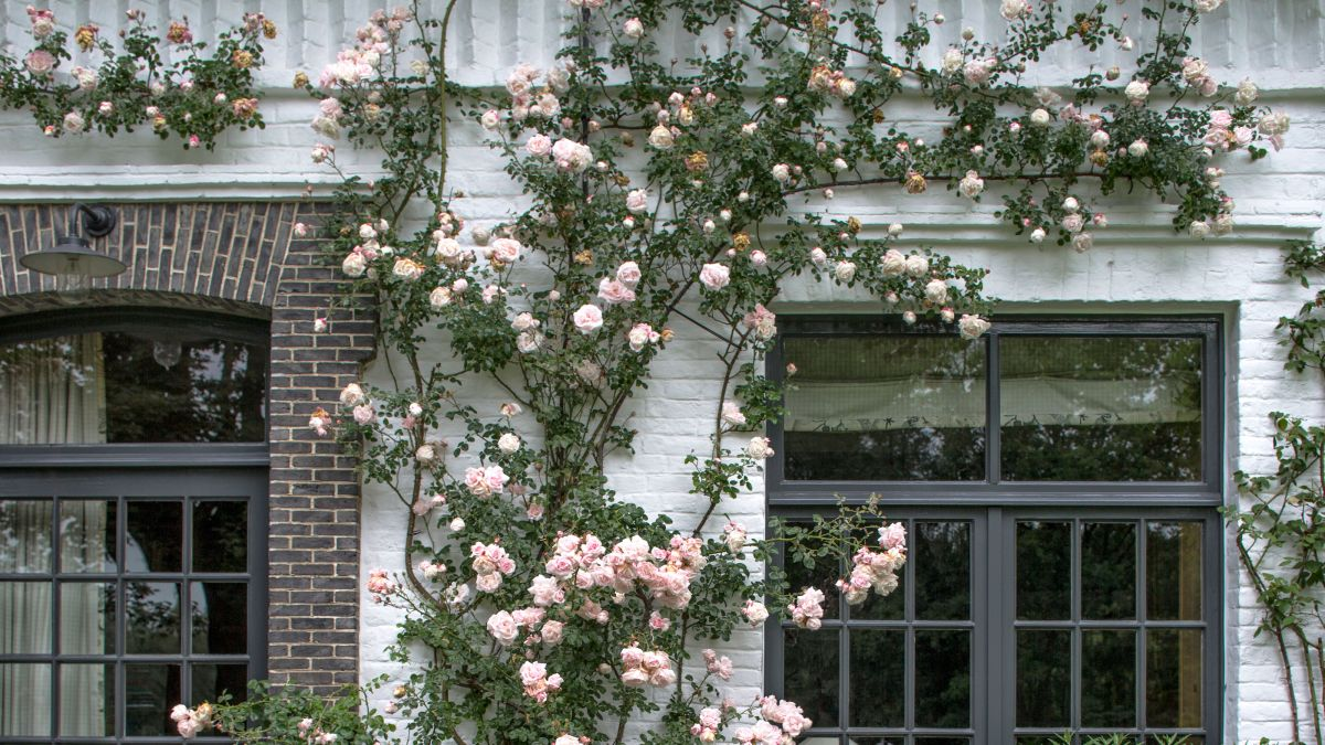 Monty Don explains why now is the time to prune rambling roses