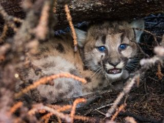 A cougar kitten photographed in Wyoming.