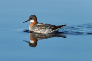 A red-necked phalarope, gender-bending