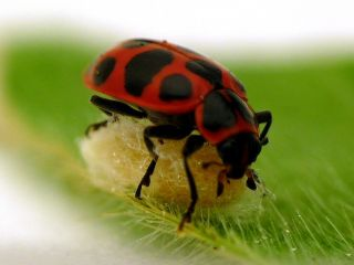 Ladybug and parasite