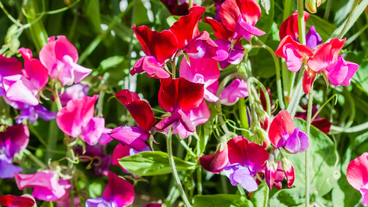 Monty Don shares his secrets for planting sweet peas