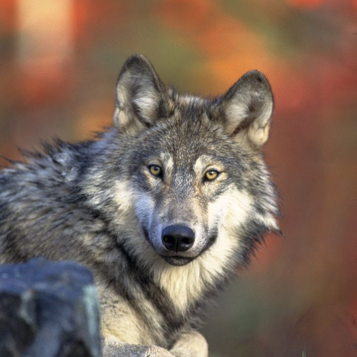 Wolf Facts Gray Wolves Timber Wolves Red Wolves Live Science