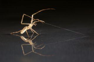 Tetragnathid spider anchoring