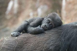 western lowland gorillas, wcs photography, wildlife
