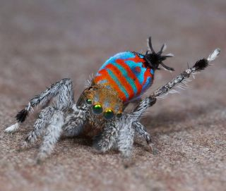 A colorful peacock spider