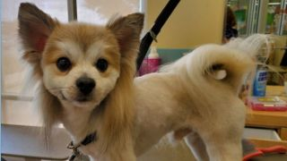 A chihuahua proudly showing off his dog mullet