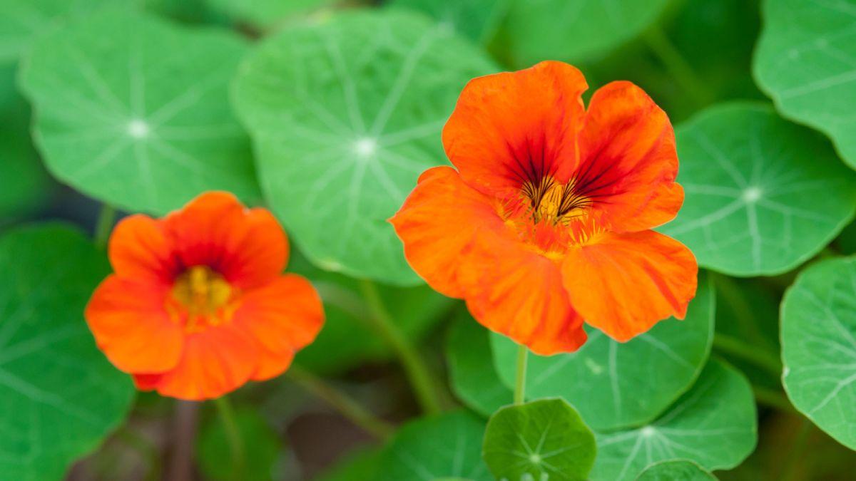 The surprising reason your nasturtium is not flowering, according to Monty Don