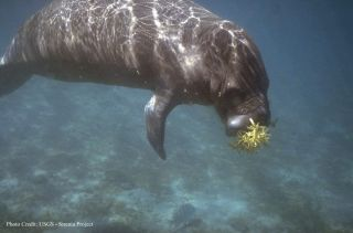 A manatee munching down on some sargassum.