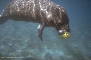 A manatee munching down on some sargassum.