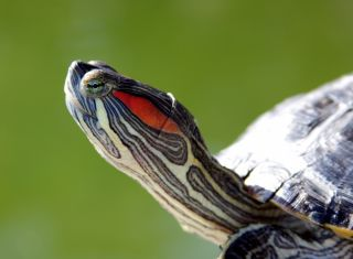 Portrait of a red-eared slider turtle.