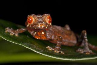 satanic-gecko-leaf-11105-02