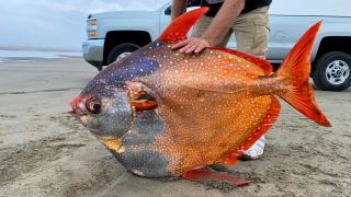 A 100-pound opah, also known as a moonfish, washed up on a beach near Sunset Beach in northern Oregon on July 14.