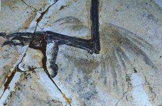 bird fossil with leg feathers